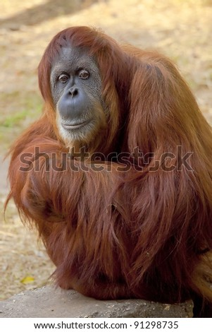 A cute adult Orangutan