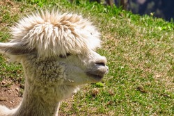 a cute alpaca in the mountains of Piedmont in Italy