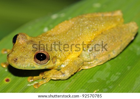 A cute Amazon Snouted Frog (Scinax ictericus) in the Peruvian Amazon Lots of space for text