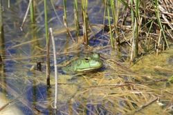 A cute American bullfrog swimming in a dirty lake with straws in it in the swamps