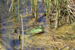 A cute American bullfrog swimming in a swampy lake in the marshlands with tall blades of grass around
