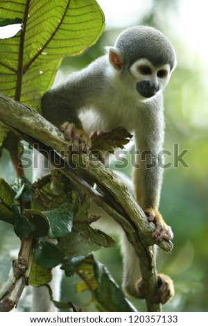 A cute and small titi monkey in South America