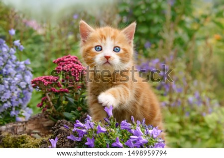 A cute baby cat kitten, ginger with white and wonderful blue eyes, playing with flowers in a garden, showing its paw, Germany