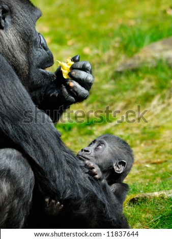a cute baby gorilla holding on to mother