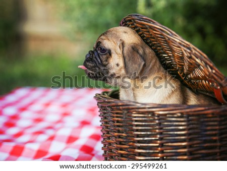 a cute baby pug chihuahua mix puppy looking out of a wicker picnic basket and licking her face during summer maybe on the 4th of july holiday