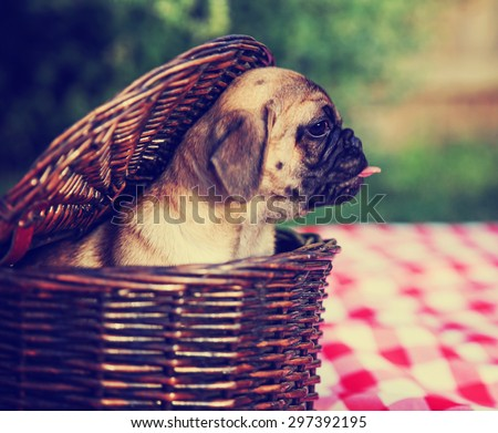 a cute baby pug chihuahua mix puppy looking out of a wicker picnic basket and licking her face during summer toned with a retro vintage instagram filter app or action effect. Soft focus