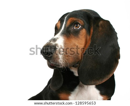 a cute basset hound puppy