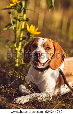 A Cute Beagle Dog In The Nature #624244760