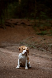 A cute beagle dog is sitting on a forest road with his head sad. Selective Focus Image