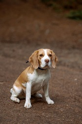 A cute beagle dog is sitting on a road in a forest. Image with selective focus
