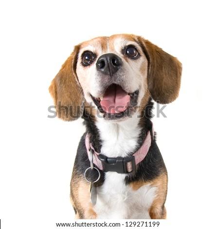 a cute beagle looking at the camera
