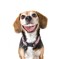 a cute beagle with a big grin looking at the camera