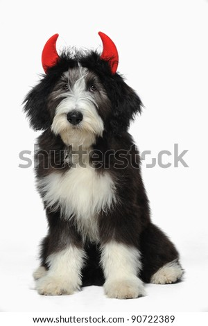A cute bearded collie puppy wearing red devil's horns vertical