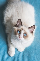 A cute bicolor ragdoll kitten on a blue background. The cat is looking up, and she is  photographed indoors in natural light.