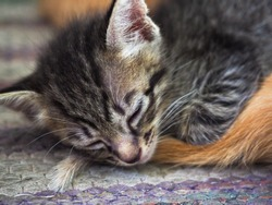 A cute black and gray striped kitten is sleeping on the carpet. It covers the orange tails of other cats.
