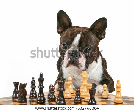 a cute boston terrier looking intently at a chess game isolated on white studio shot