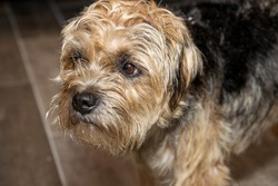 A cute brown and black Yorkshire terrier dog looking sad upset