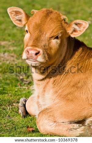A cute brown calf in the meadow of the north of Spain