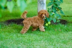 A cute brown poodle puppy is walking on a green lawn next to an apple tree