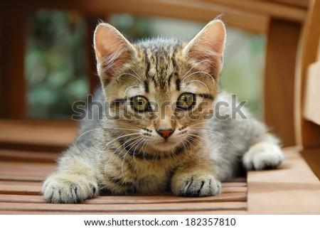 A cute brown tabby kitten, European Shorthair, Germany