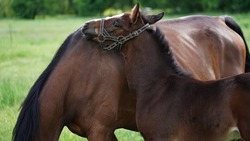 A cute brown thoroughbred foal in a bridle snuggles up to the horse's mother on a green meadow. Close-up is the head of a small foal. Beautiful natural banner.