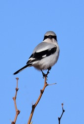 a cute but vicious loggerhead shrike perched on a tree on a sunny winter day along the quebradas backcountry byway near socorro, new mexico