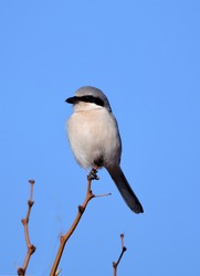 a cute but vicious loggerhead shrike perched on a tree on a sunny winter day along the quebradas scenic byway near socorro, new mexico