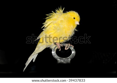 A cute canary over black background.