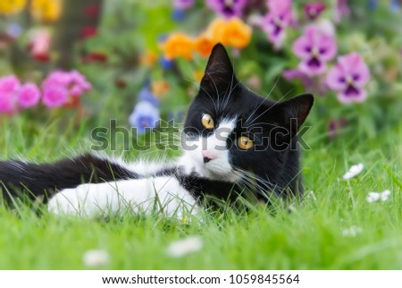 A cute cat, tuxedo pattern black and white bicolor, European Shorthair, lying on its back in a meadow in front of colorful flowers and looking curiously