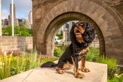 A cute Cavalier King Charles Spaniel dog poses by a stone arch, the old Chicago Stock Exchange archway, in the city.