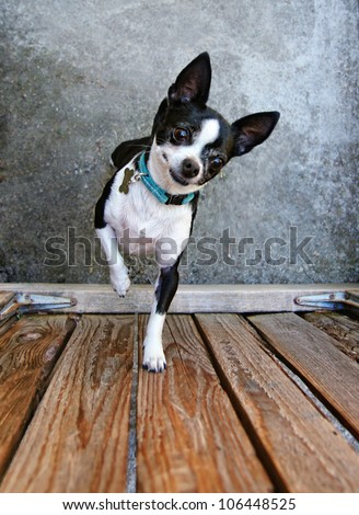 a cute chihuahua begging to be picked up
