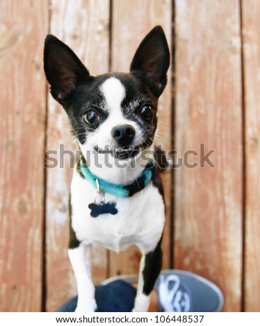a cute chihuahua begging to be picked up and held