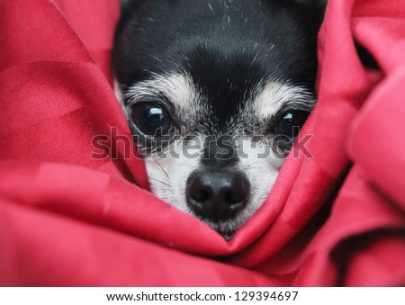 a cute  chihuahua in  a blanket looking at the camera