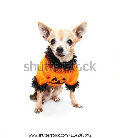 a cute chihuahua in a halloween costume