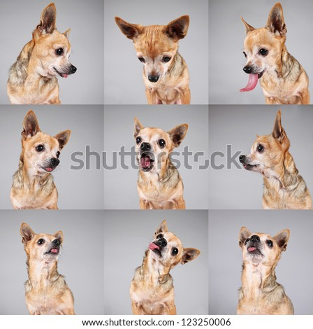 a cute chihuahua making a funny face