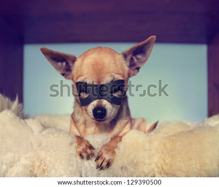a cute  chihuahua on a blanket with a mask on