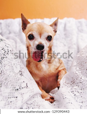 a cute  chihuahua on a blanket with his tongue out