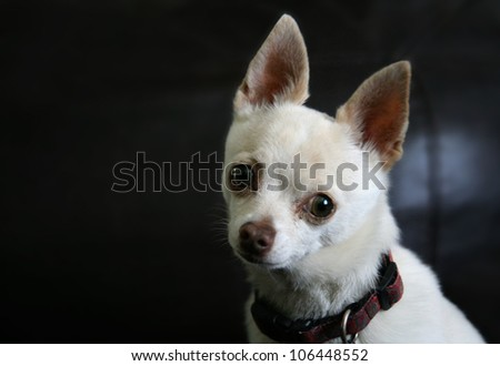 a cute chihuahua posing for the camera