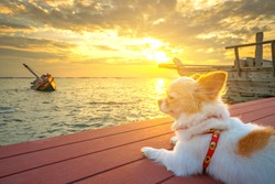 A cute chihuahua puppy with sunset and shipwreck seascape background