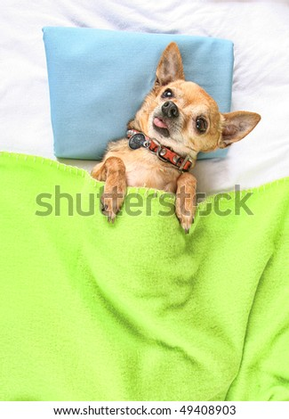 a cute chihuahua taking a nap