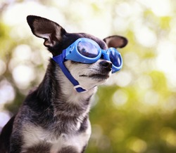 a cute chihuahua wearing goggles and sitting outside during summer time