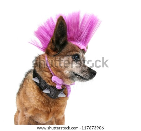 a cute chihuahua with a mohawk punker hairdo