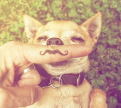 a cute chihuahua with a mustache finger in front of him done with a retro vintage instagram filter (from the mustache series)