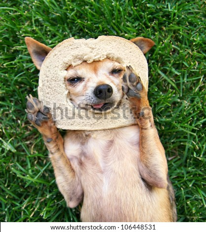a cute chihuahua with a slice of bread on his head