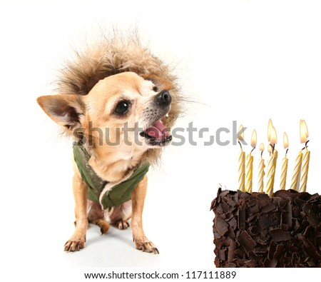 a cute chihuahua with birthday cake and a jacket on