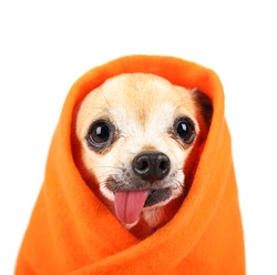 a cute chihuahua with his tongue hanging out and a blanket wrapped around him isolated on a while background in the studio