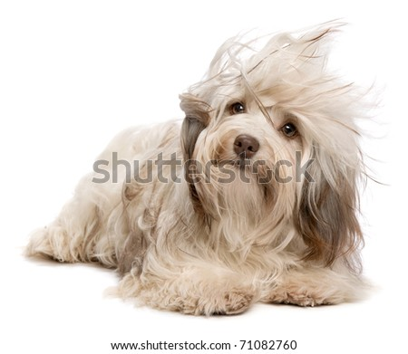 A cute chocolate havanese puppy dog lying in wind isolated on white background