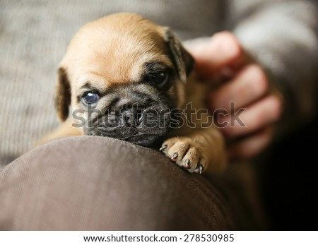 a cute chug pug puppy on a lap being petted looking at the camera (SHALLOW DOF on the nose)