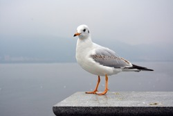 A cute colorful white larus ridibundus show its shape standing on the platform in cloudy day