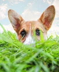 a cute corgi hiding in green grass